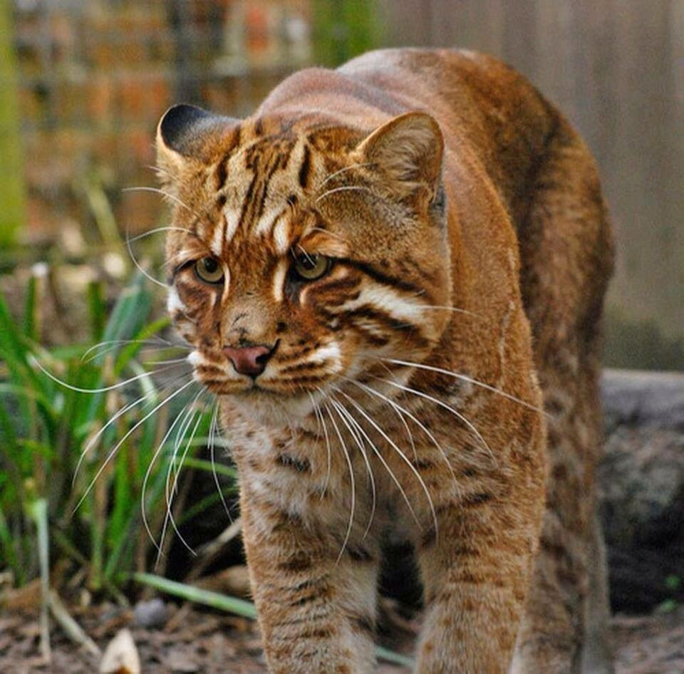 Gato dorado asiático Animales salvajes, Gato grande