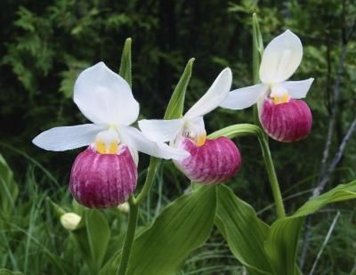 Freeze Resistant Orchids Lady Slipper Orchid Lady Slipper Flower Orchid Care
