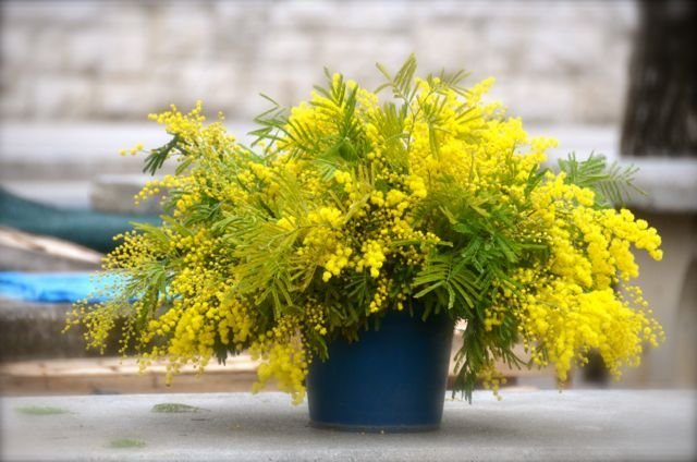 Margaritas yellow flowers theyre mimosas mm props pinterest mimosa flowers in bucket mightylinksfo