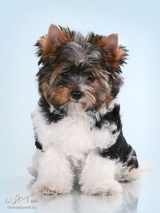 Abzugeben biewer yorkshire welpen Biewer Terrier