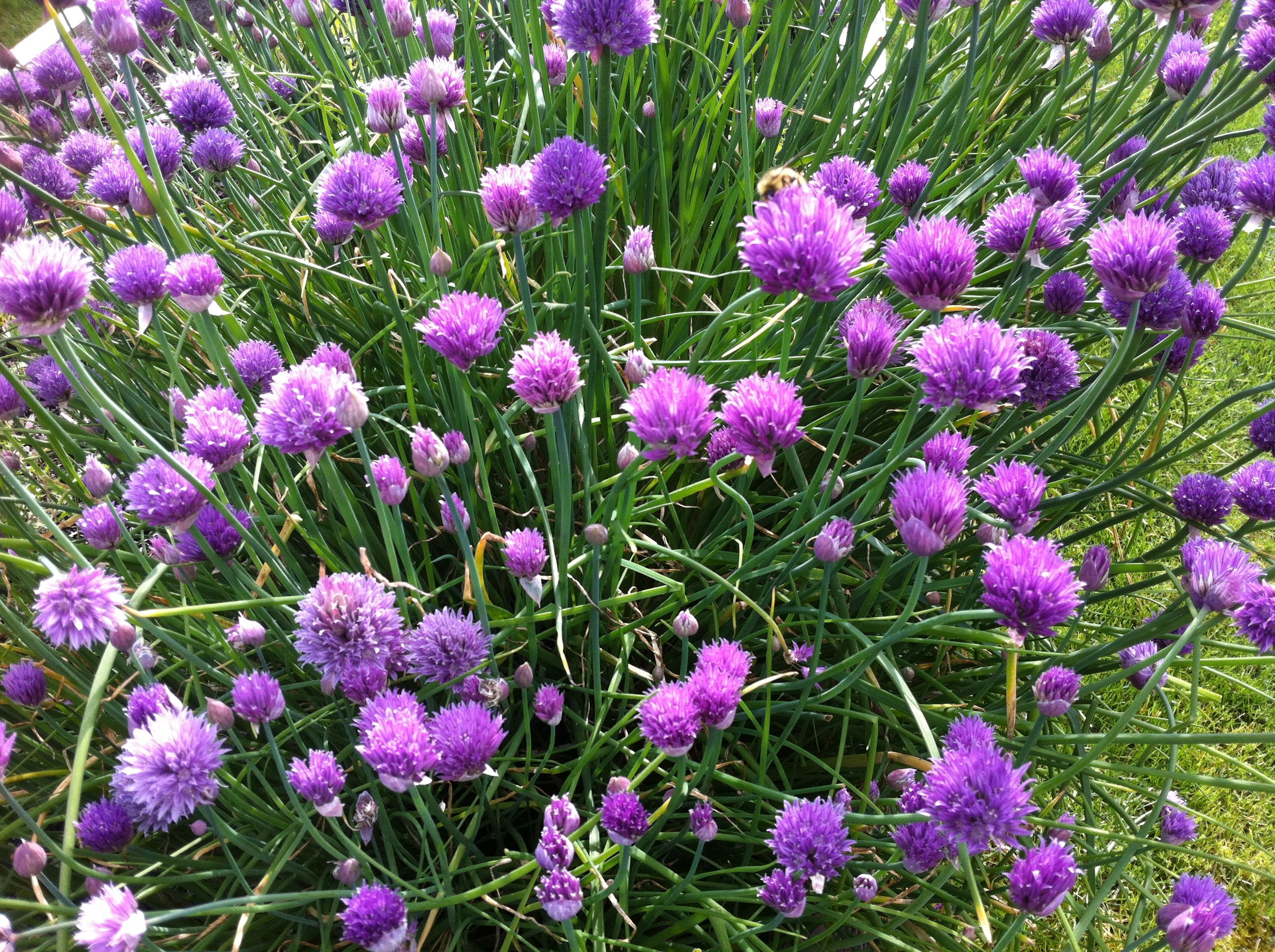 Chives! #flowers #chives http://www.realfx.com/