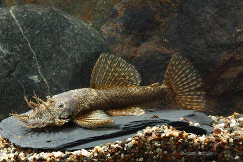 Picture of bristlenose pleco l144a florida xlg ancistrus for Nettoyeur aquarium poisson
