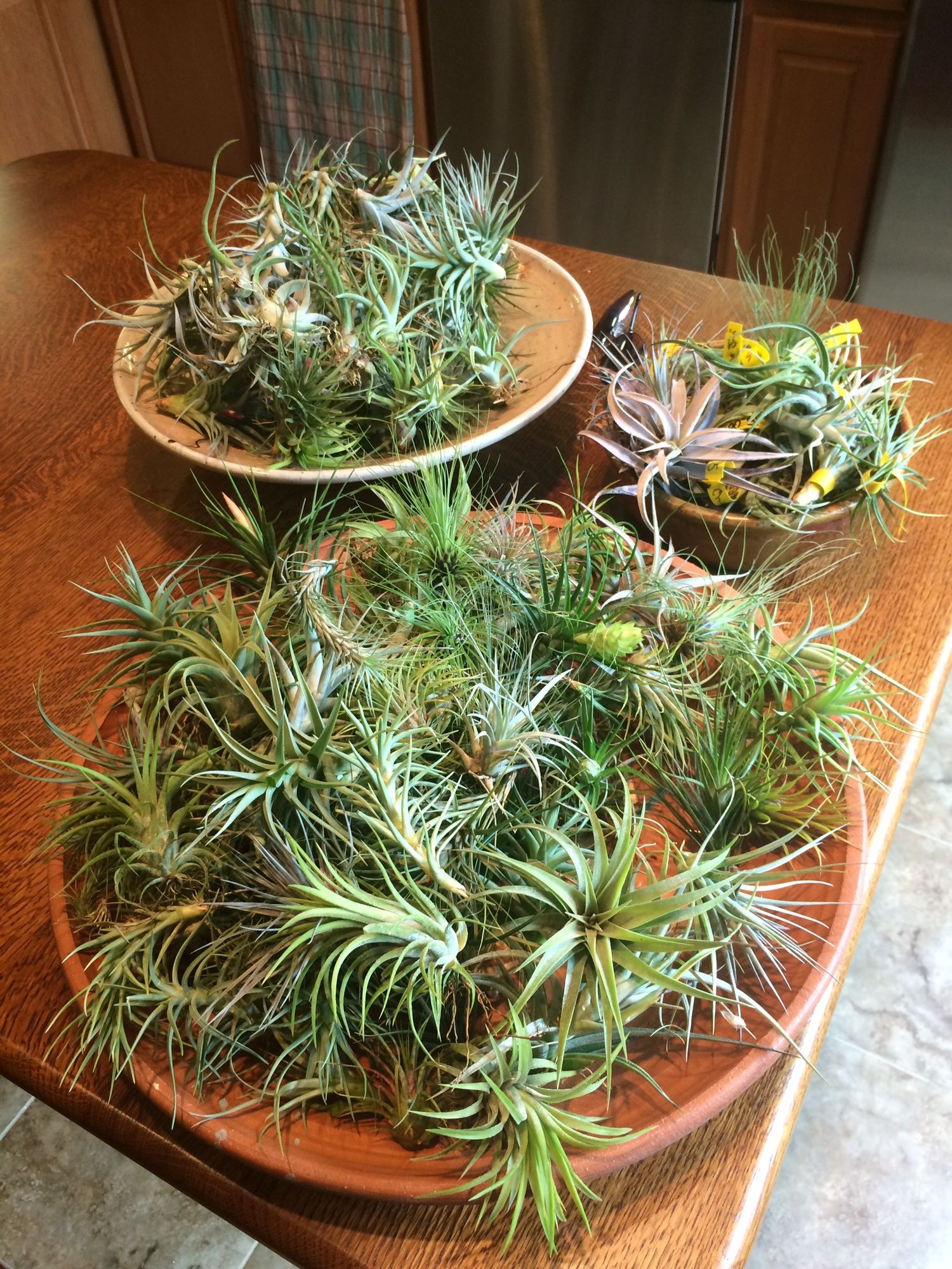 Healthy Tillandsia Air Plants In Bowls Tillandsia Air Plant