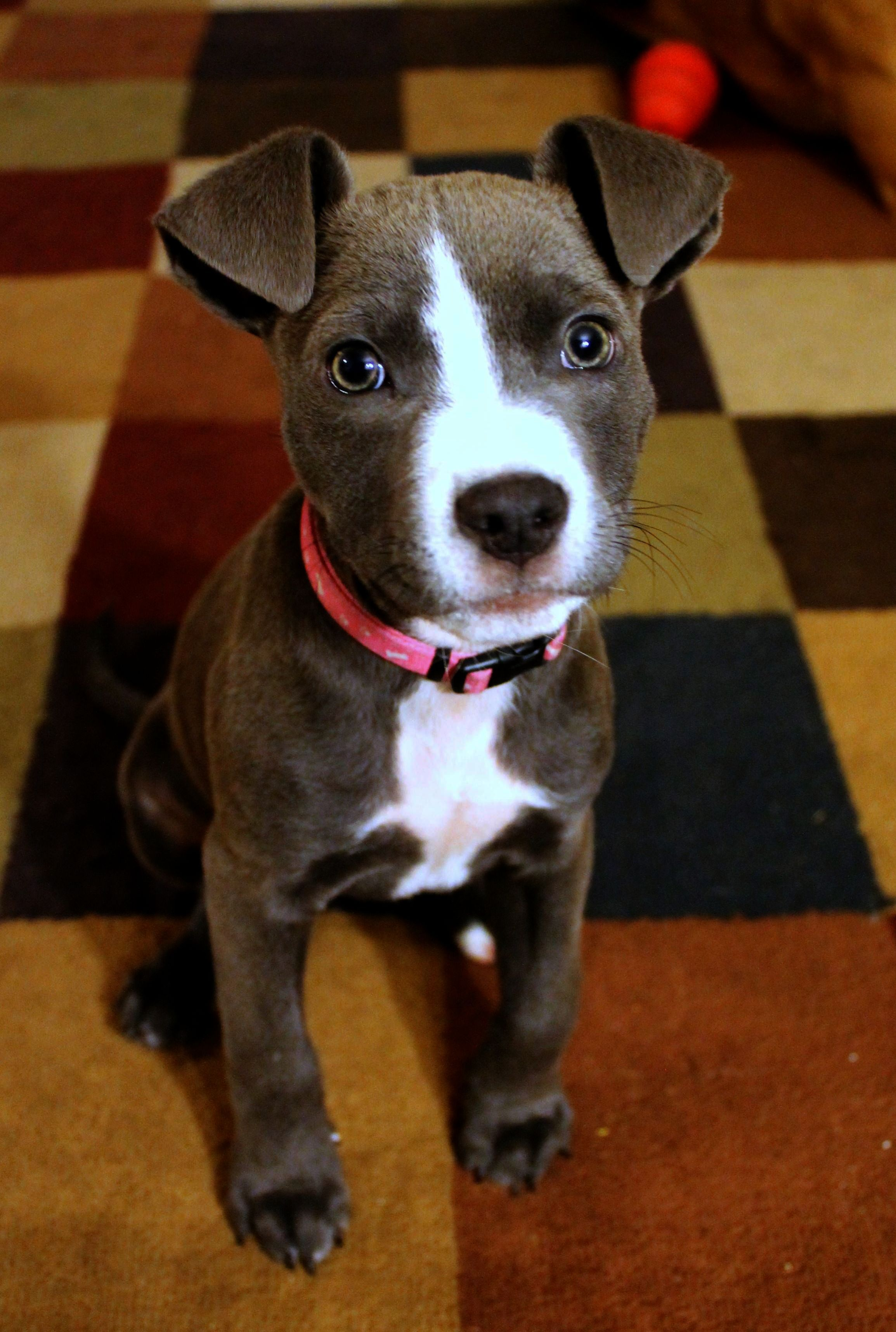 Get some > Pitbull Mix Puppies Near Me get (With images