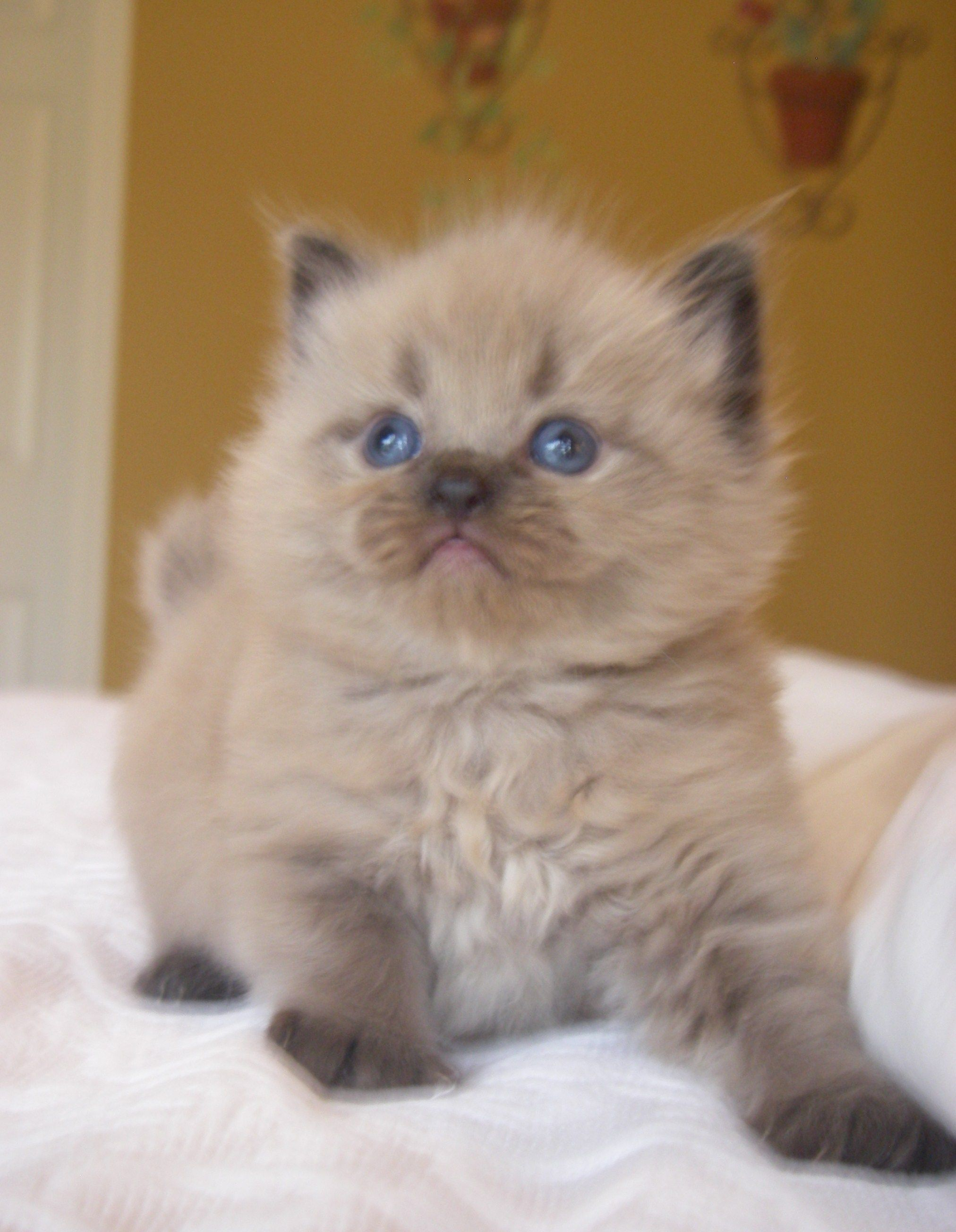 Mink Ragdoll Kittens Sepia Ragdolls More Ragdoll Kitten Ragdoll Cat Beautiful Cats