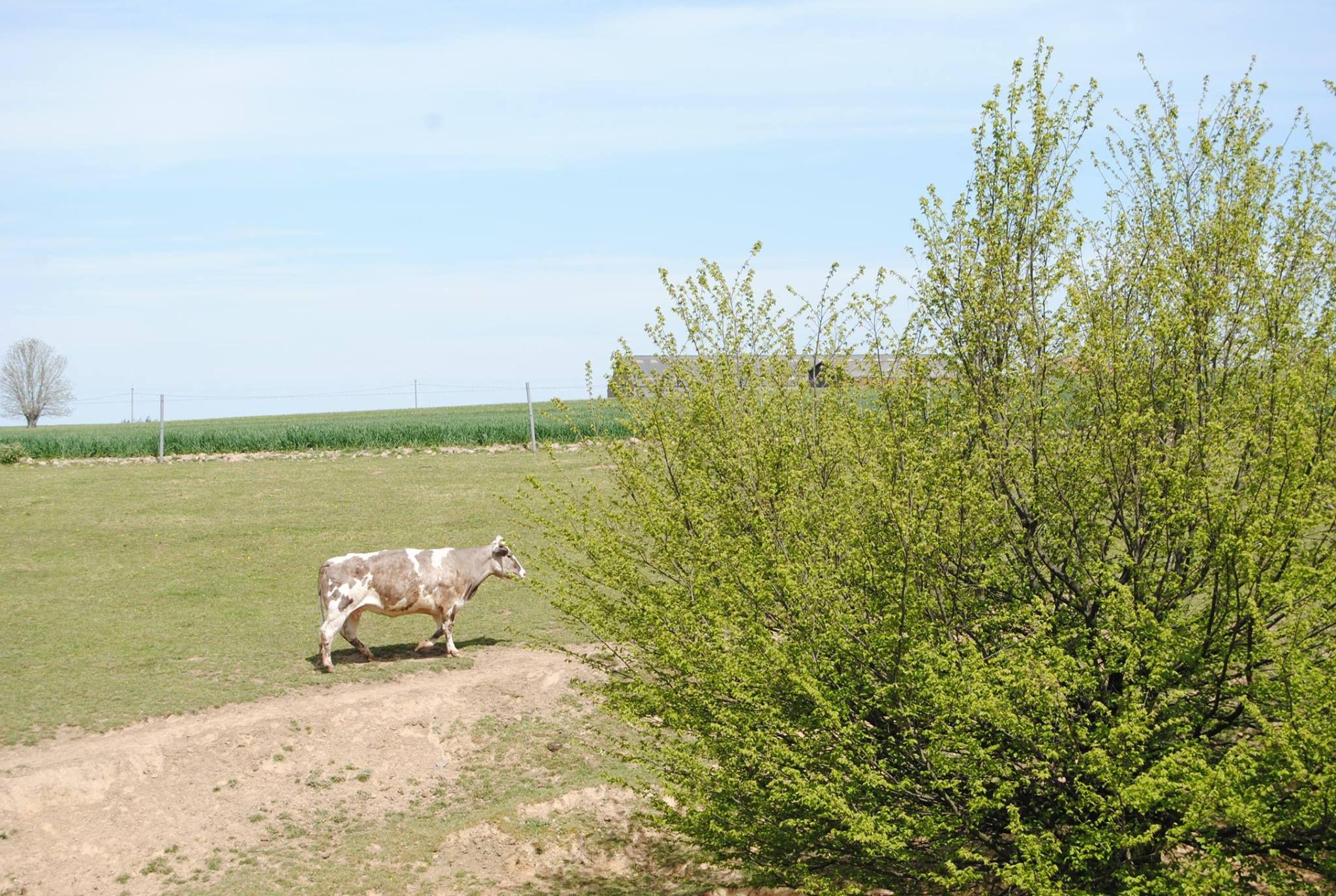 Les vaches de Jeanne