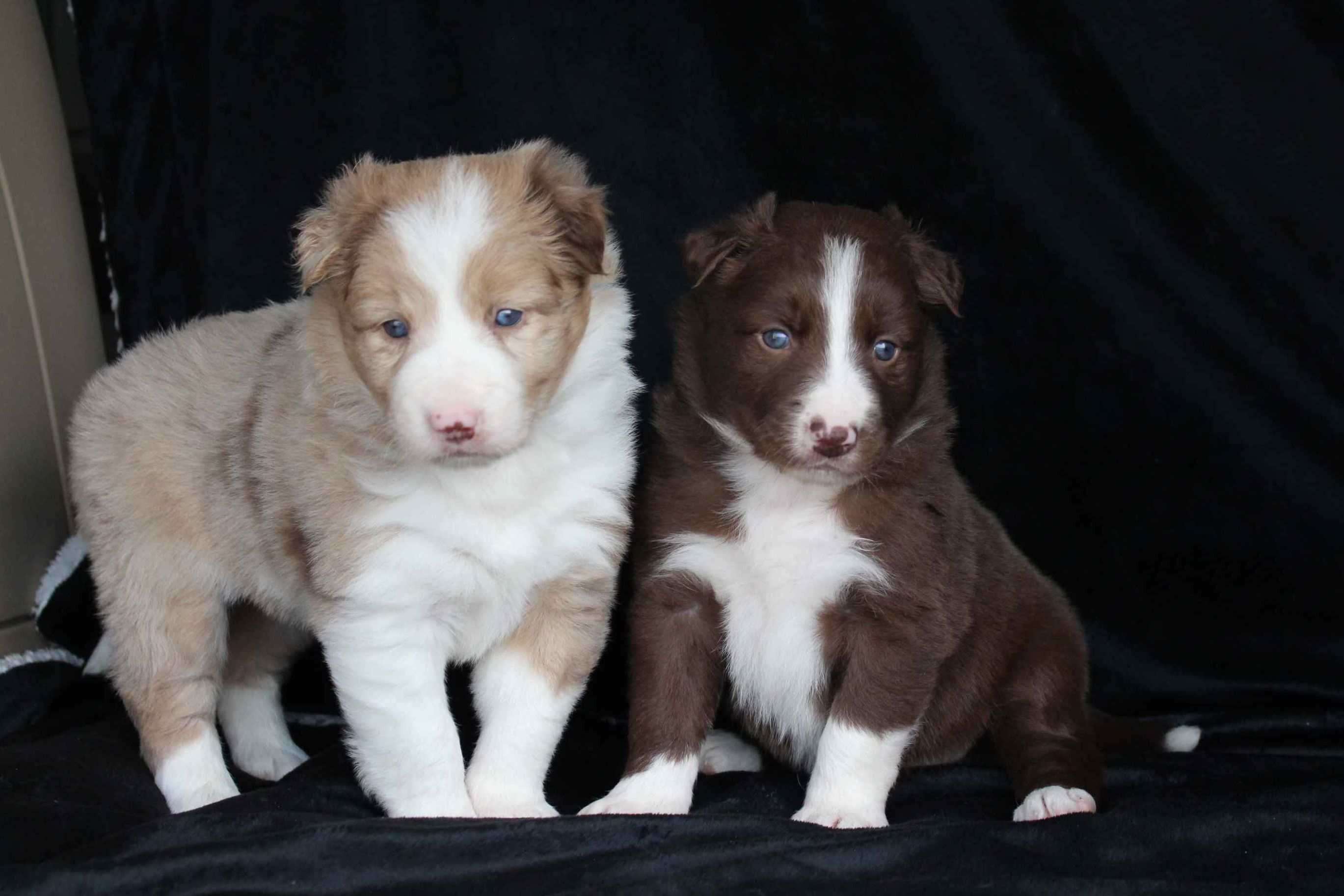 C Bar C Ranch Border Collies Has Border Collie Puppies For Sale In