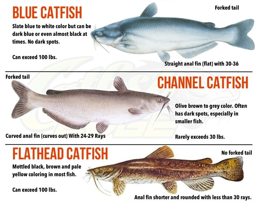 Blue Catfish Google Search With Images Best Catfish Bait