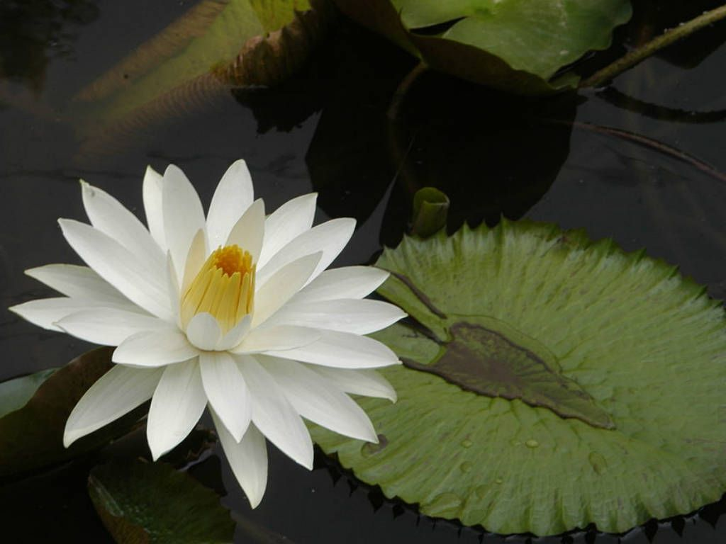 Nymphaea lotus tiger lotus white egyptian lotus see its profile nymphaea lotus the white egyptian lotus tiger lotus white lotus or egyptian white waterlily is a flowering plant of the family nymphaeaceae it grows in izmirmasajfo