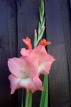 Care Of Gladiolus How To Grow Gladiolus In Your Garden Gladiolus Flower Gladiolus Pretty Flowers