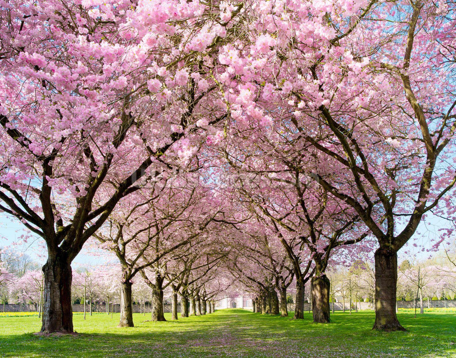 Cherry Blossom Trees Wall Mural Wallpaper Wallsauce Us Blossom Trees Tree Wall Murals Cherry Blossom Tree