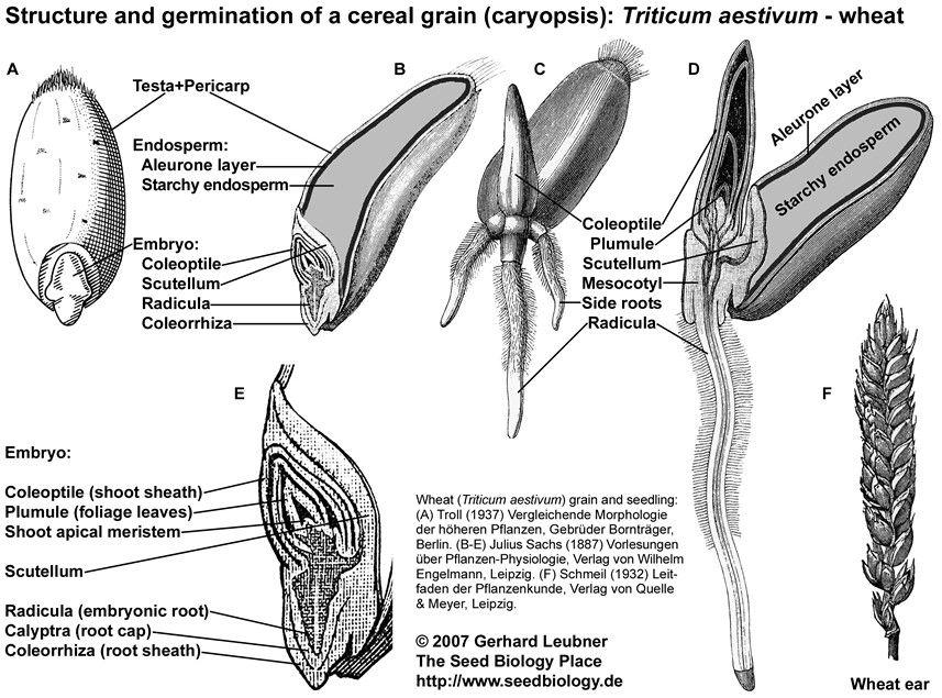 wheat flower, flower anatomy, biology, seeds, flatware, place settings, shun