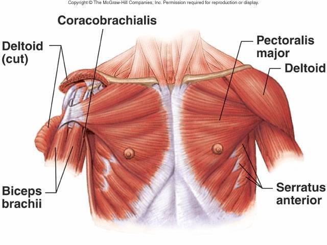 Anterior Shoulder Chest Muscles Health Bodywork Pinterest