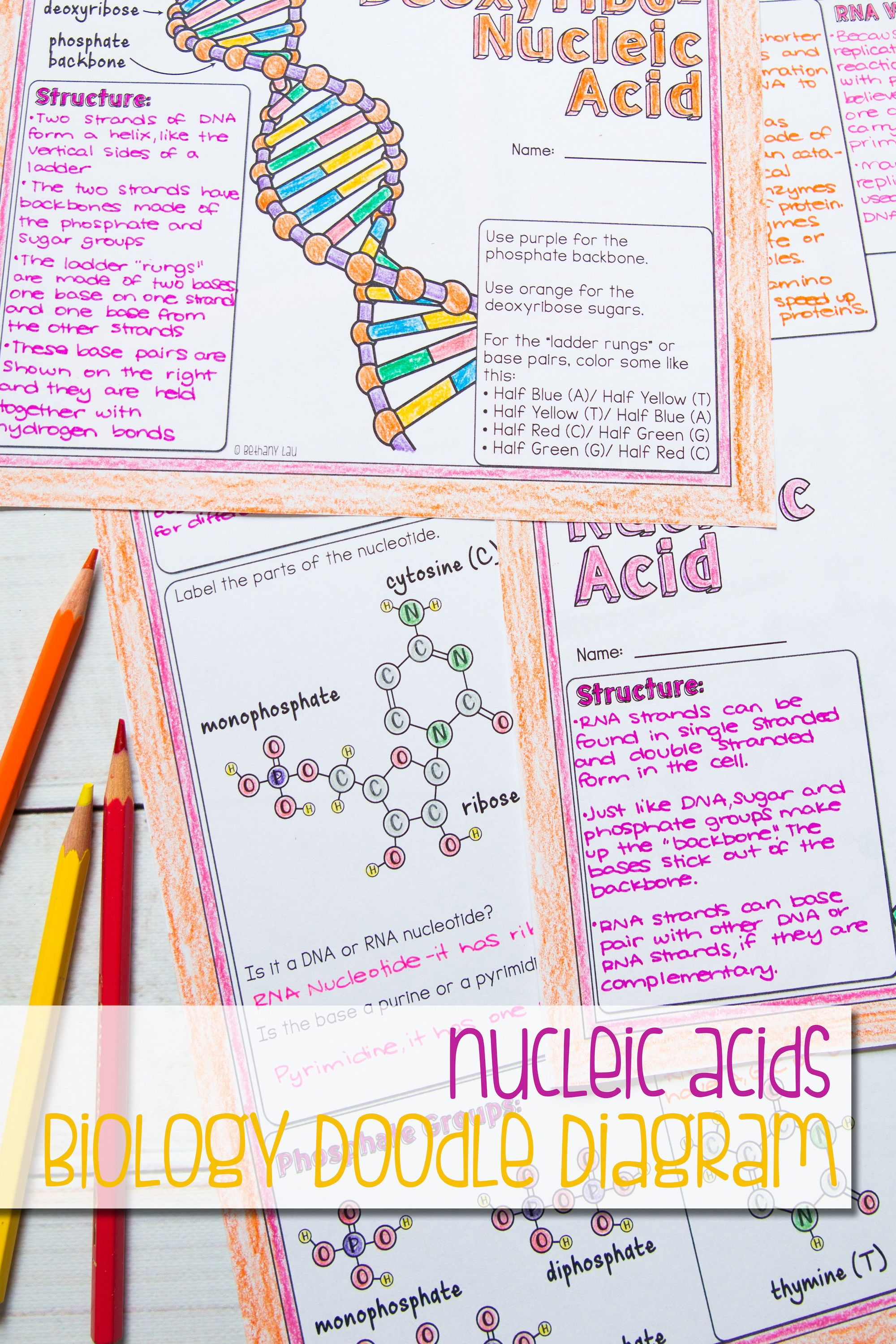 hight resolution of fantastic illustrated guided notes all about nucleic acids nucleotides parts of nucleotides and the role of dna and rna
