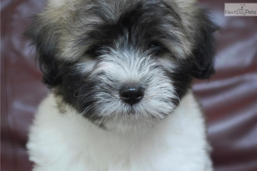 Coton De Tulear Puppy For Sale Near Kalamazoo Michigan 999eaa06 51a1 Coton De Tulear Puppy Coton De Tulear Puppies For Sale