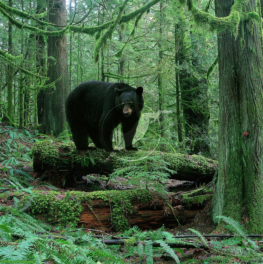 Are you a good guest in his world ? Black bear, American