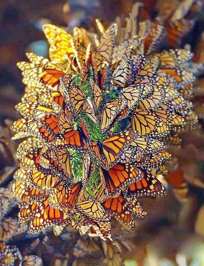 Butterflies | PICS | Pinterest | Mariposa monarca, Monarcas y Mariposas