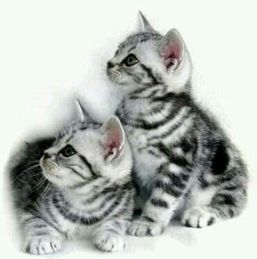 Adorable Grey Tabby Kittens American Shorthair Kitten American Shorthair Cat