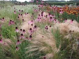 Image result for prairie planting with echinacea, rudbeckia and kniphofia