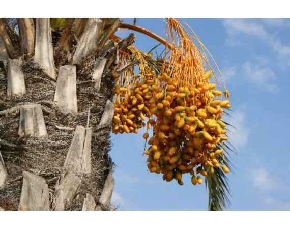 Dates grow on trees date palms grow in hot climates such for Best flowers to grow in california