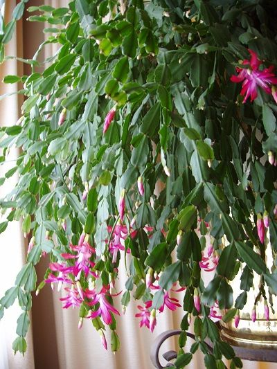 How To Care For Christmas Cactus.Christmas Cactus Care Routine Watered Every Sunday About