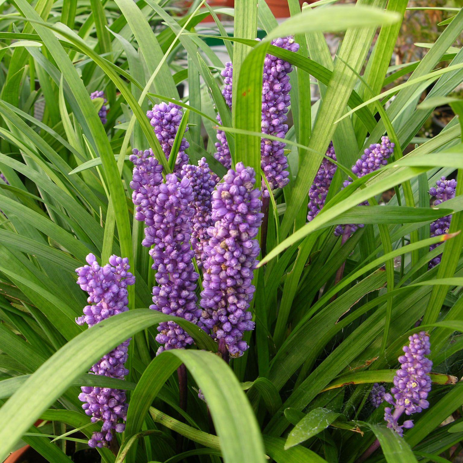 Liriope muscari royal purple royal purple is an