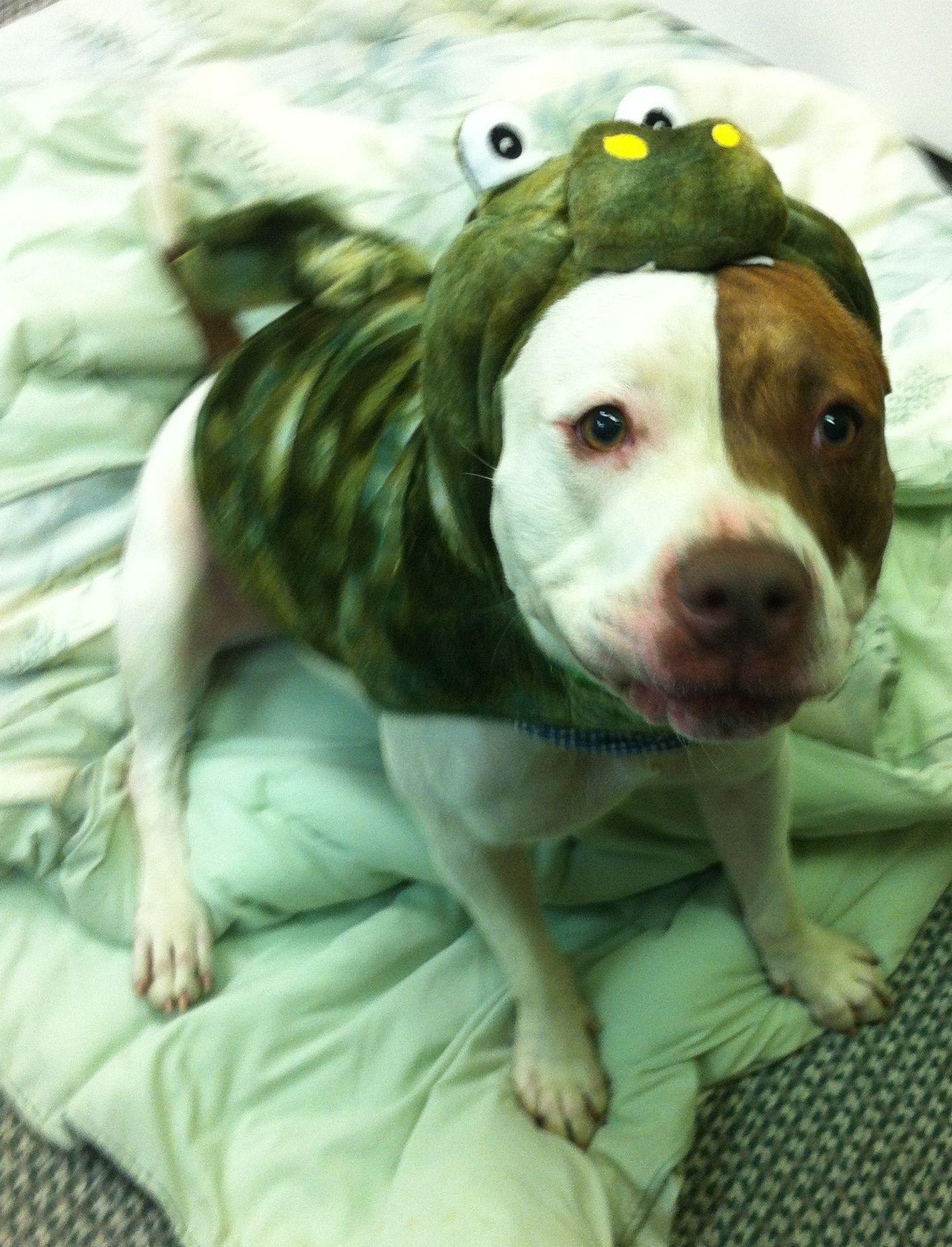 Pitbull puppy rescue maryland
