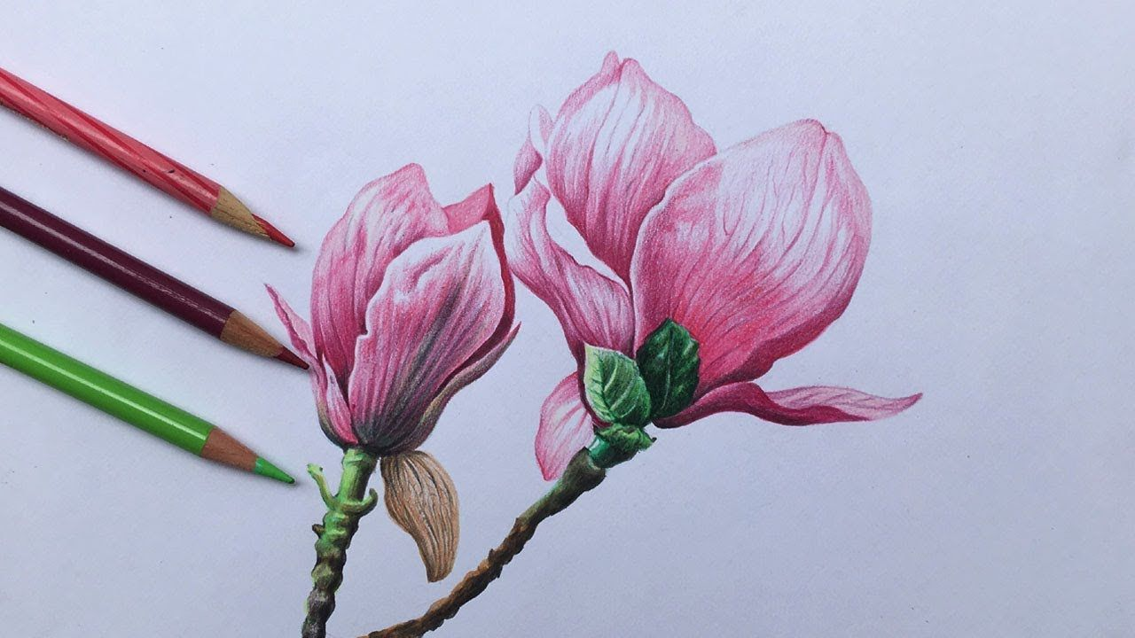 Magnolia Flowers Drawing In Color Pencil Realistic Flower Drawing Pink Magnolia Flowers Drawing Youtu In 2020 Flower Drawing Realistic Flower Drawing Flower Art