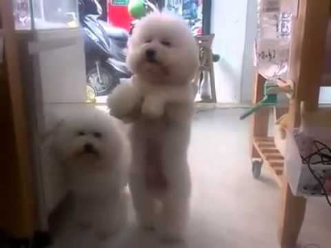Bichon Frise Dancing To Their Favoite Chinese Song Bichon Frise