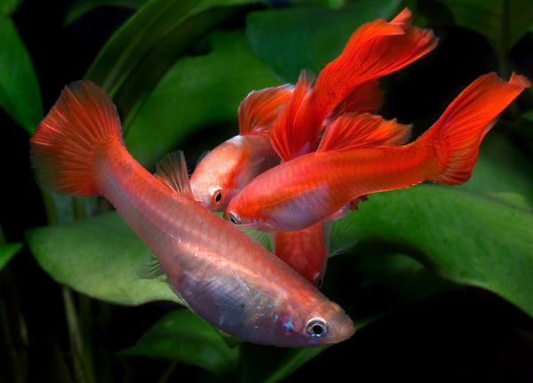Breeding Show Quality Guppies | All Aquarium Info - Where to buy Garra Rufa , Doctor Fish and Other Aquatic Articles