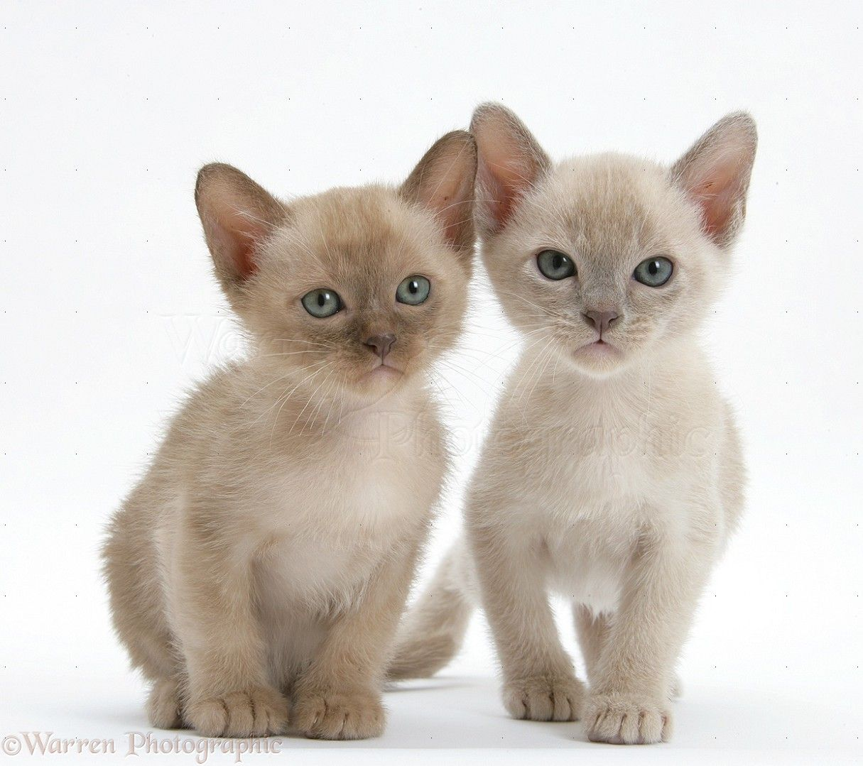 Cat Photos Google Search Burmese Kittens Burmese Cat Cat Breeds