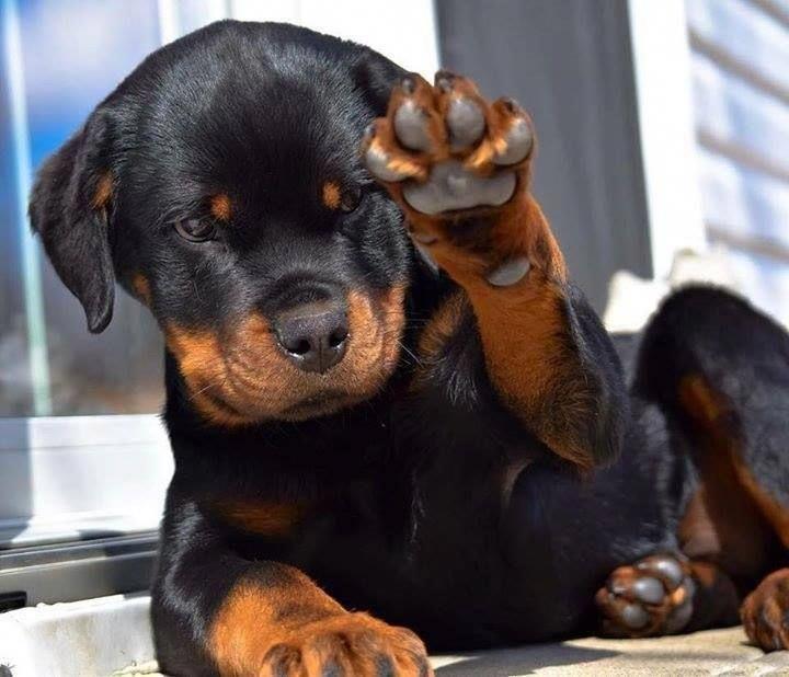 Rottweiler Placni Rottweiler Puppies Dog Breeds Cute Animals