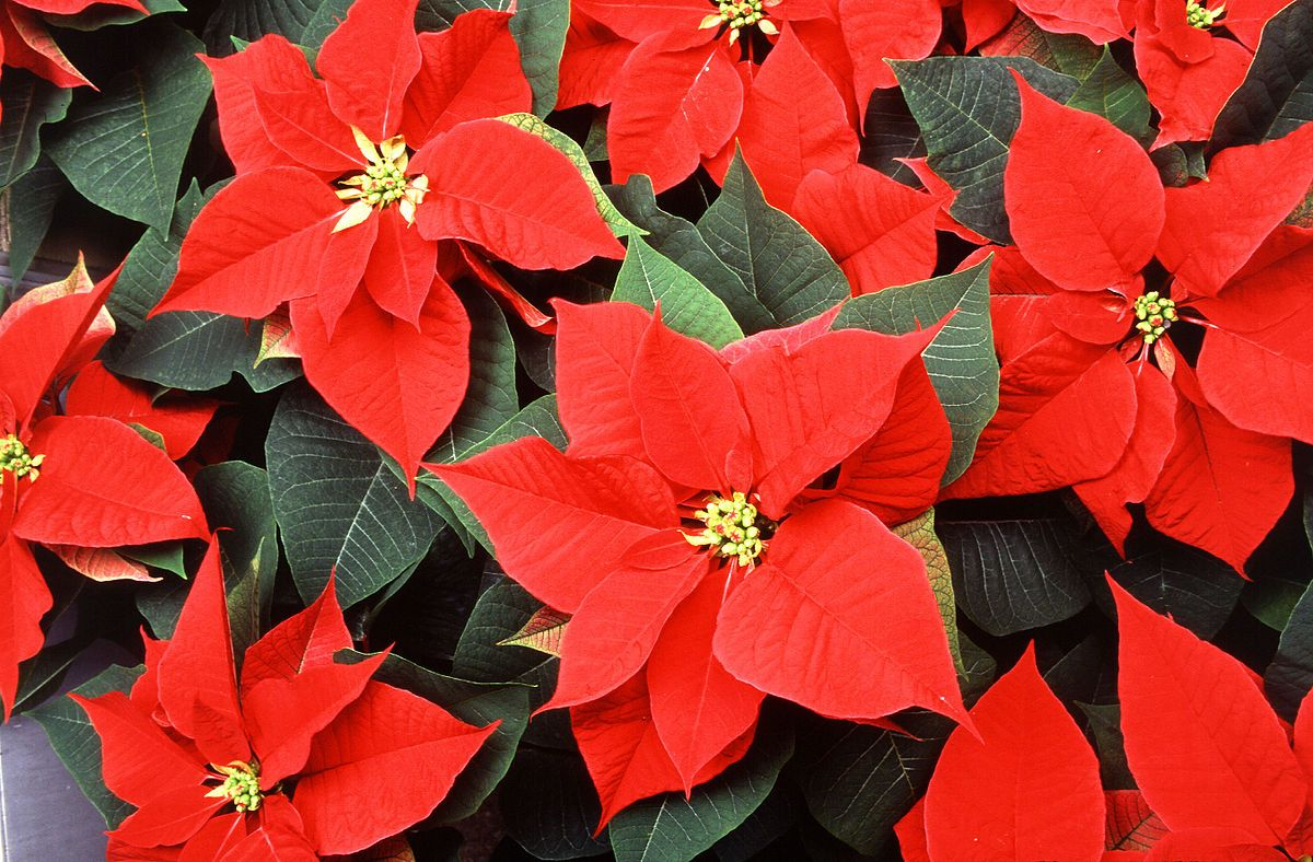 No surprise that poinsettias are one of three official flower for no surprise that poinsettias are one of three official flower for december birthdays izmirmasajfo