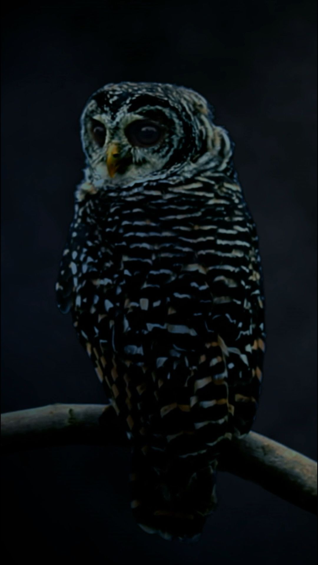 Owls wallpaper for your iPhone XS from Everpix Live owl