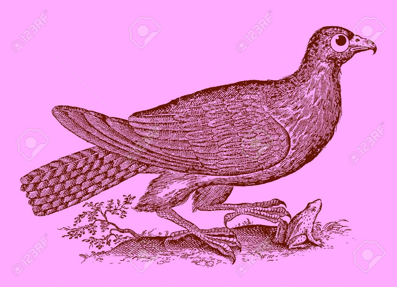 Cute predator buzzard or hawk catching a frog or toad Illustration after a historic woodcut engraving from the 17th century Easy editable in layers