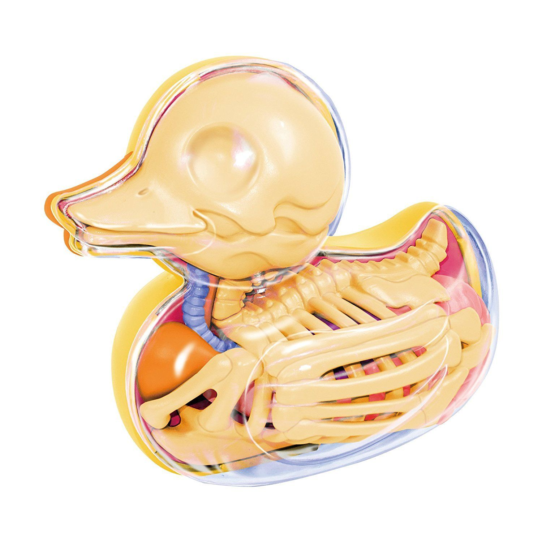 4D Master Bathing Ducky Skeleton Anatomy Model   Pinterest