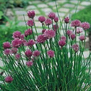 Chive Herb Plant Chives Plant Allium Schoenoprasum Planting Herbs