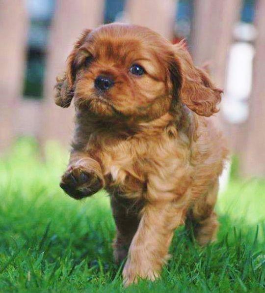Very Happy Ruby Cavalier Cavalier King Charles King Charles Cavalier Spaniel Puppy Cavalier King Charles Spaniel