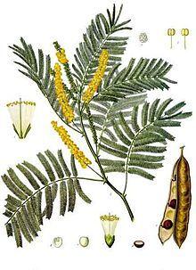 Acacia Catechu Kohler S Medizinal Pflanzen 003 Jpg Psychoactive Plants Plants Ancient Tree