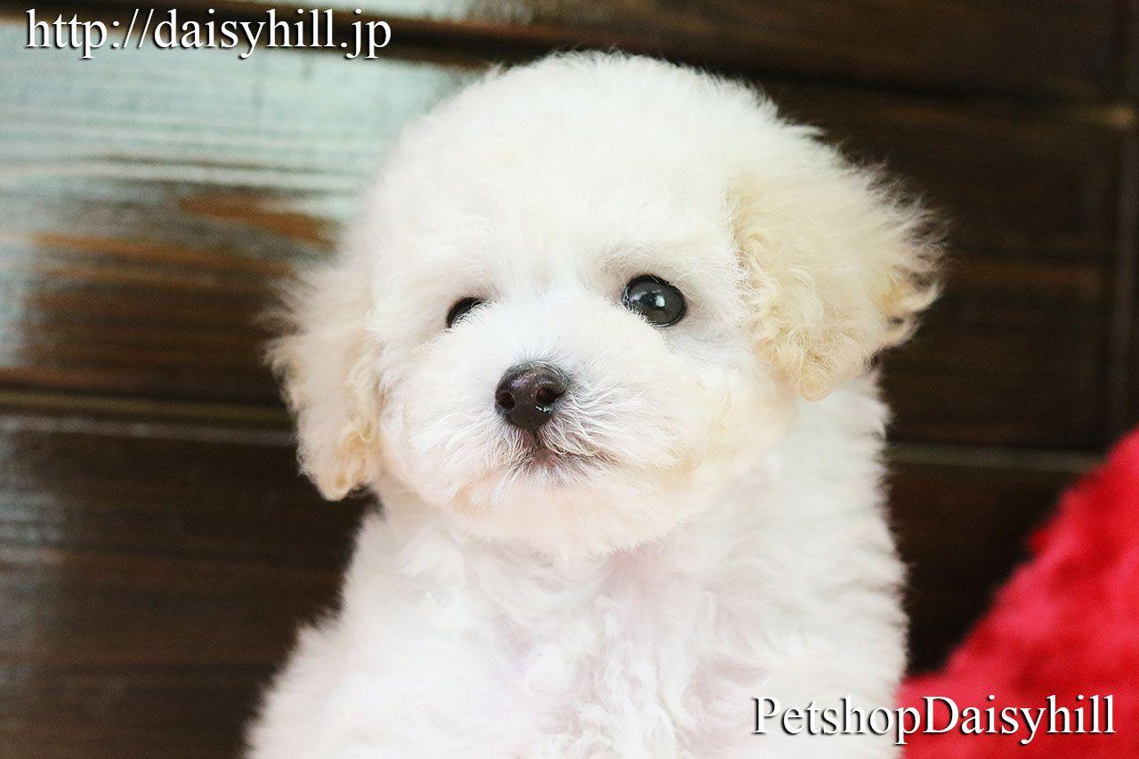 京都のペットショップdaisyhillのサイト トイプードル 子犬 ペットショップ トイプードル