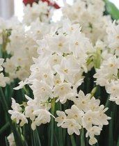 Paperwhite Daffodil Flower Bulbs