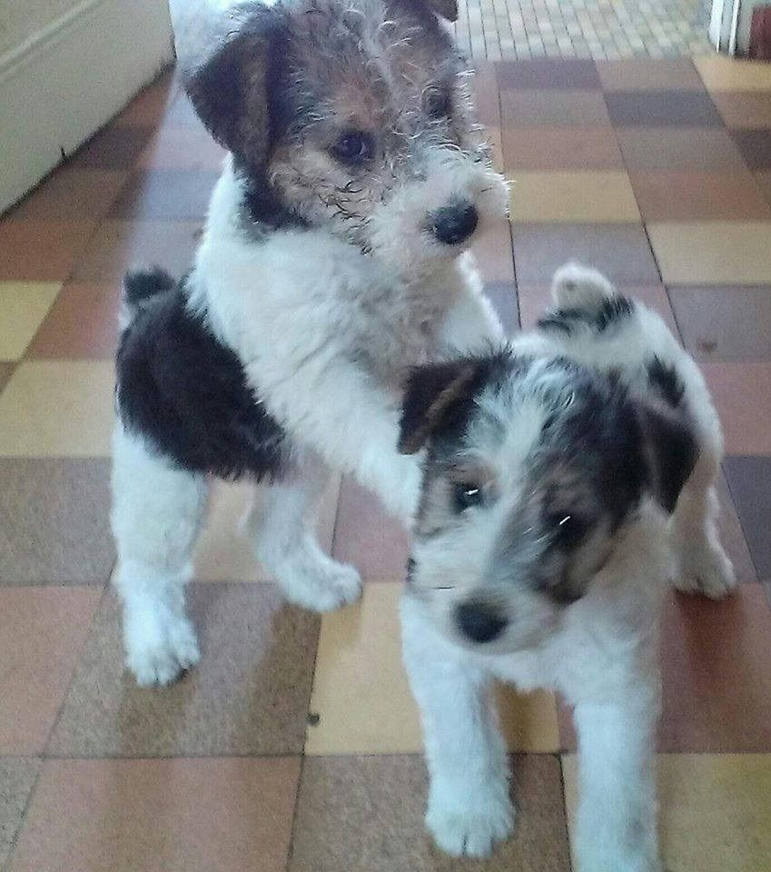 Oh my gosh they are so beautiful sweet pinterest dog animal oh my gosh they are so beautiful wire fox terrierswire fox terrier puppiesjack russell nvjuhfo Images