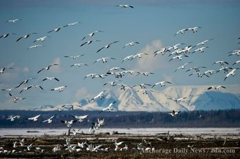 Snow geese land on the Anchorage Coastal Wildlife Refuge on Thursday, April 19, 2012 in Anchorage, Alaska. Snow geese migrate toward the Beaufort Sea coastal region in northern Alaska and Canada in spring. (Photo / Marc Lester, Anchorage Daily News)
