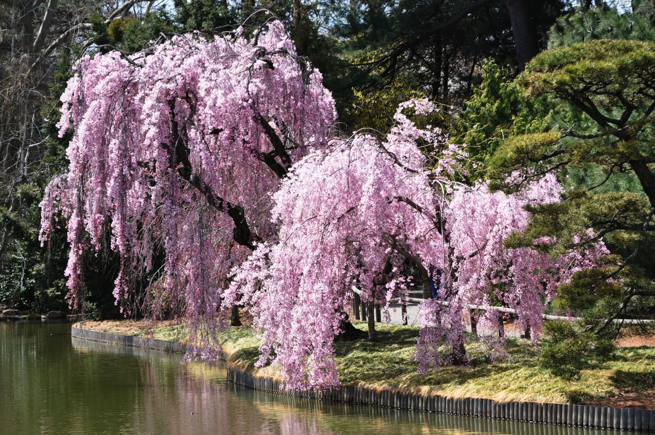 Weeping Higan Cherry Tree Weeping Cherry Tree Landscaping Trees Garden Trees