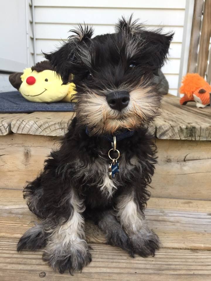 My Baby Wolfie Is Looking Older He Will Be 11 Weeks Old Tomorrow Schnauzer Puppy Cute Dogs And Puppies Mini Schnauzer Puppies