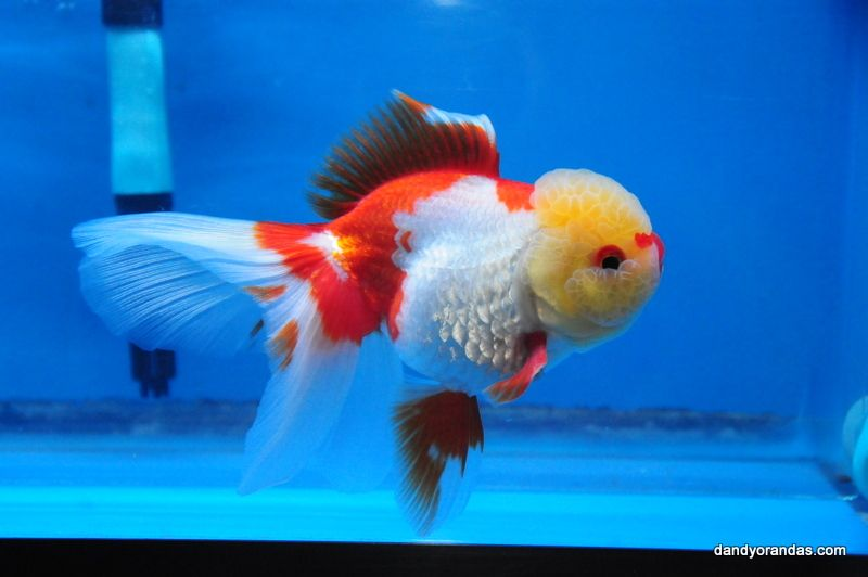 Red And White Oranda Goldfish Auction Closed For Price 159 00