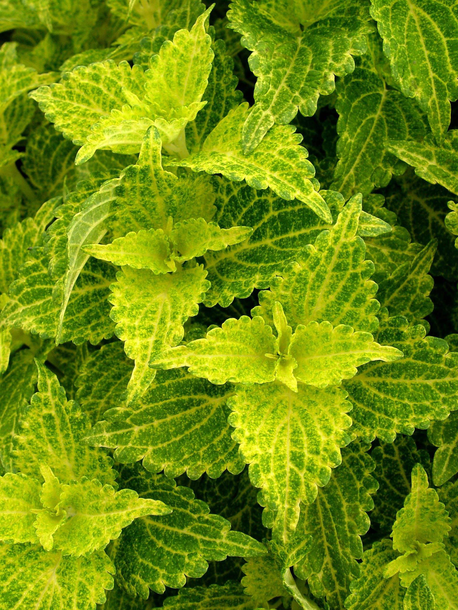 The vivid colour is natural these bright electric colours can be common name coleus electric lime botanical name solenostemon scuttelarriodes electric lime what it is an annual flower grown for its large izmirmasajfo Choice Image