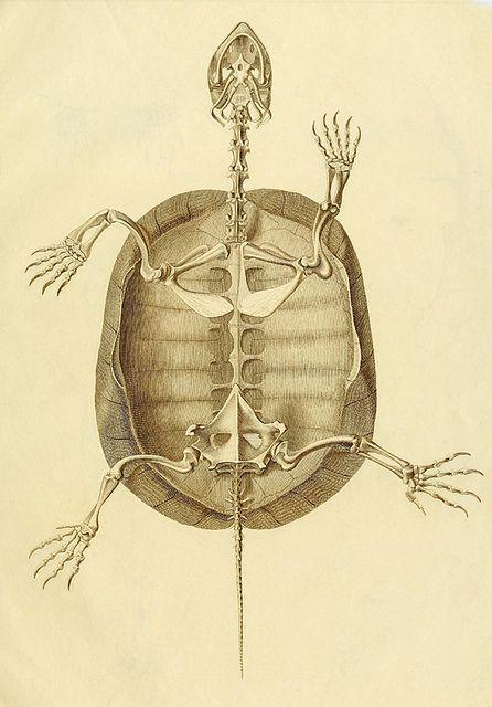 Esqueleto de tortuga  Animals  Pinterest  Anatoma animal