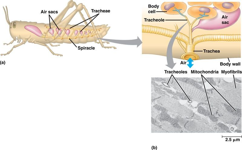 Tracheal system for insect respiration spiracles bring in air by tracheal system for insect respiration spiracles bring in air by contracting the abdominal a ccuart Images