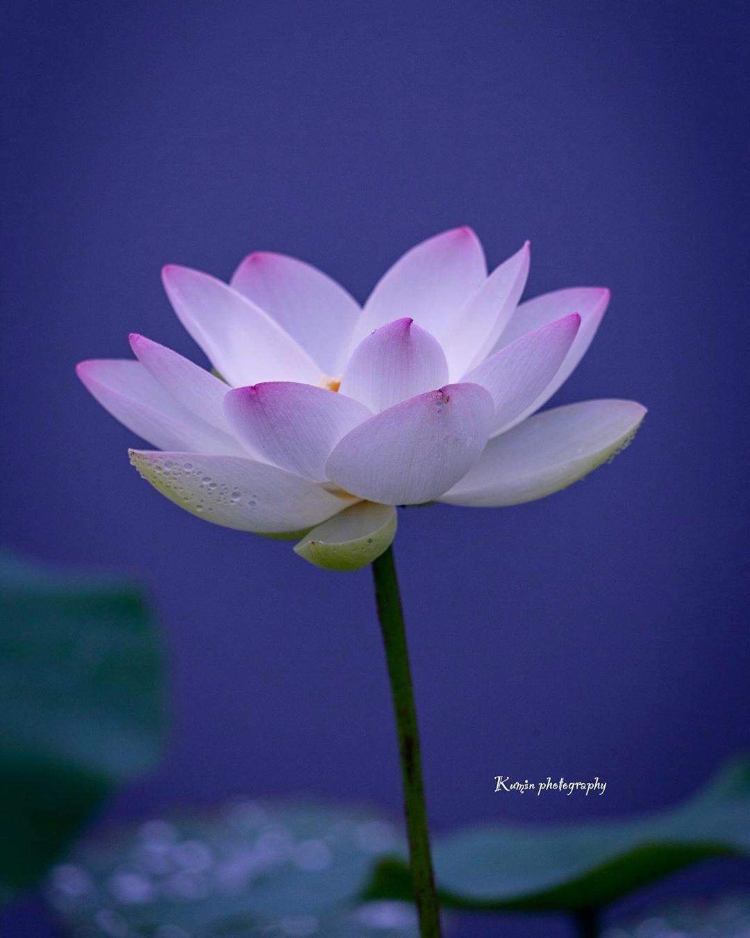 Kumin On Instagram 霧雨の中 プール後地を活用して蓮や睡蓮を育てている花蓮まつりに行って来ました 白に薄いピンクの蓮は結構咲いていましたが 濃いめのピンクの行田蓮はまだ咲いていませんでした 睡蓮も去年よりまだ少なく 見頃はこれからみたいです 撮影地